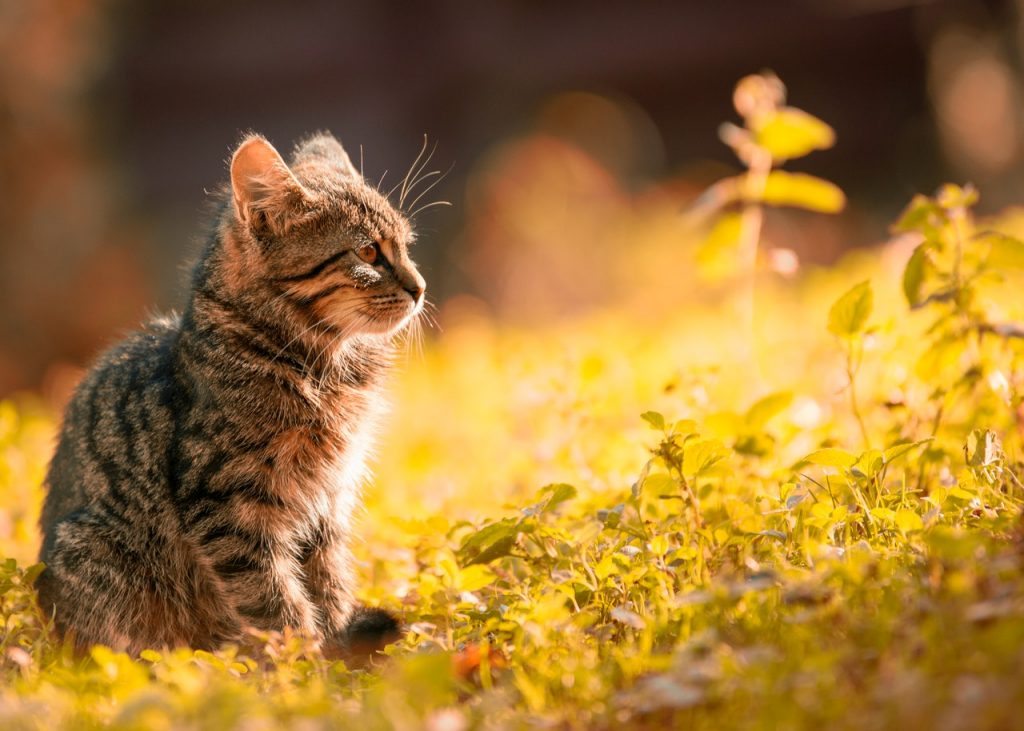 Brown tiger kitten, sitting in the grass