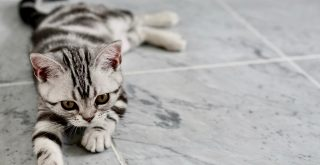 Grey tiger kitten, elongated